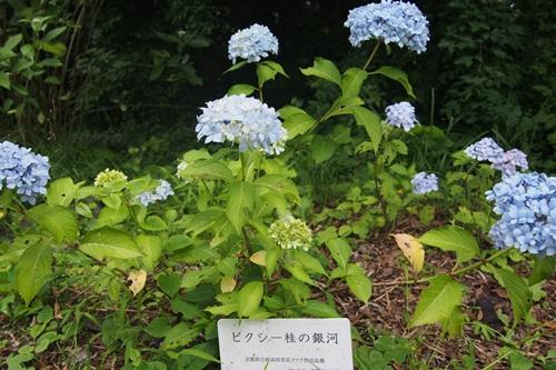 P6166214 ピクシー桂の銀河/アジサイ園芸品種