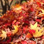 紅葉を撮りに京都府立植物園へ(2012年12月)