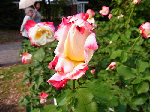 R1153772 5月なかば京都府立植物園ではバラが見ごろ