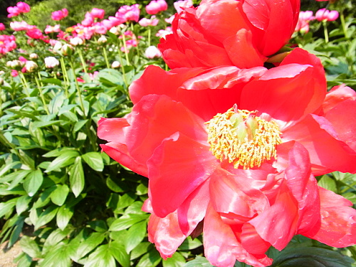 R1153801 5月なかば京都府立植物園ではバラが見ごろ