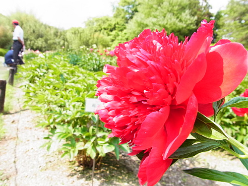 R1153803 5月なかば京都府立植物園ではバラが見ごろ