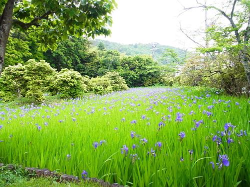 R1154098 大田神社2012年 かきつばたを見に