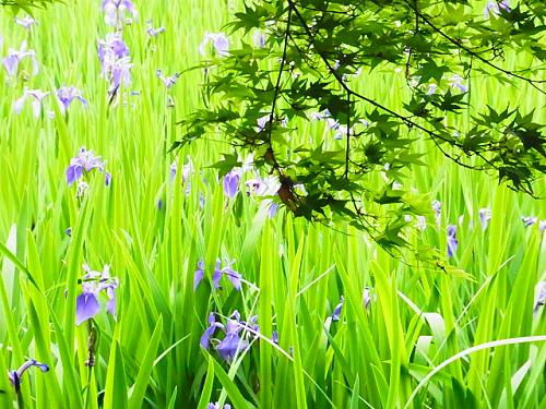 R1154107 大田神社2012年 かきつばたを見に