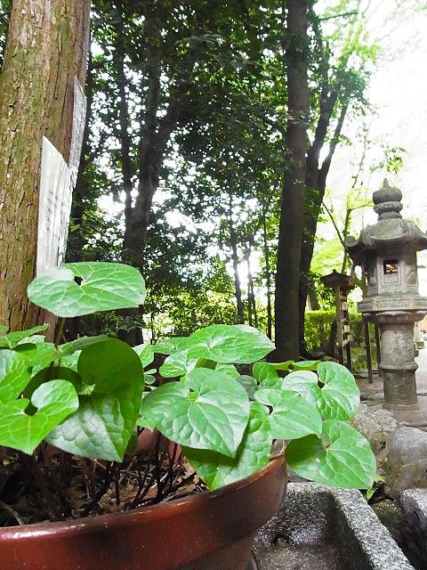 R1154134 大田神社2012年 かきつばたを見に