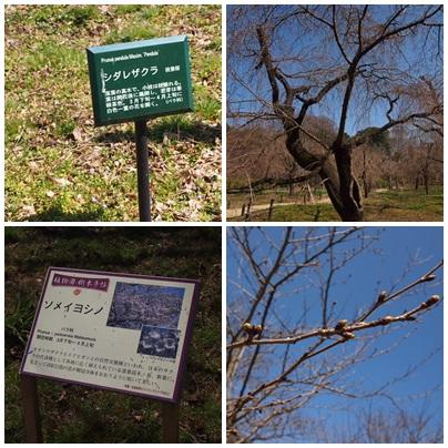 page-sakura 3月桜はまだ。京都府立植物園、これから楽しみな花(2013年)
